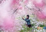2021北京平谷第二十三届桃花节4月4日开幕:花海徜徉 乐享休闲