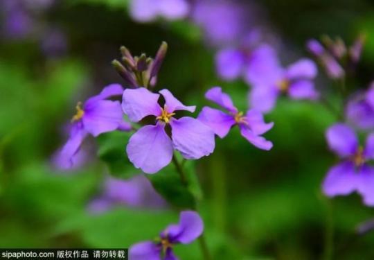 无需门票!北京居然私藏了超大梦幻紫色花海,简直就是人间仙境~